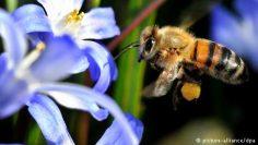 النحل أكثر الحشرات نفعاً