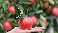 التفاح أفضل طعام لجهازك المناعي